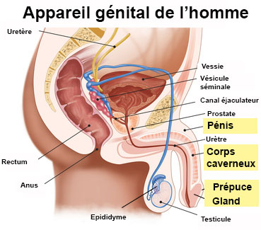 penis organ genital masculin)