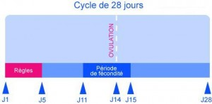 cycle d ovulation