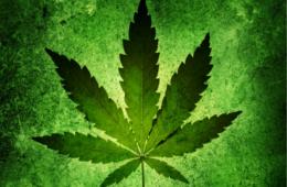 Connaître le cannabis