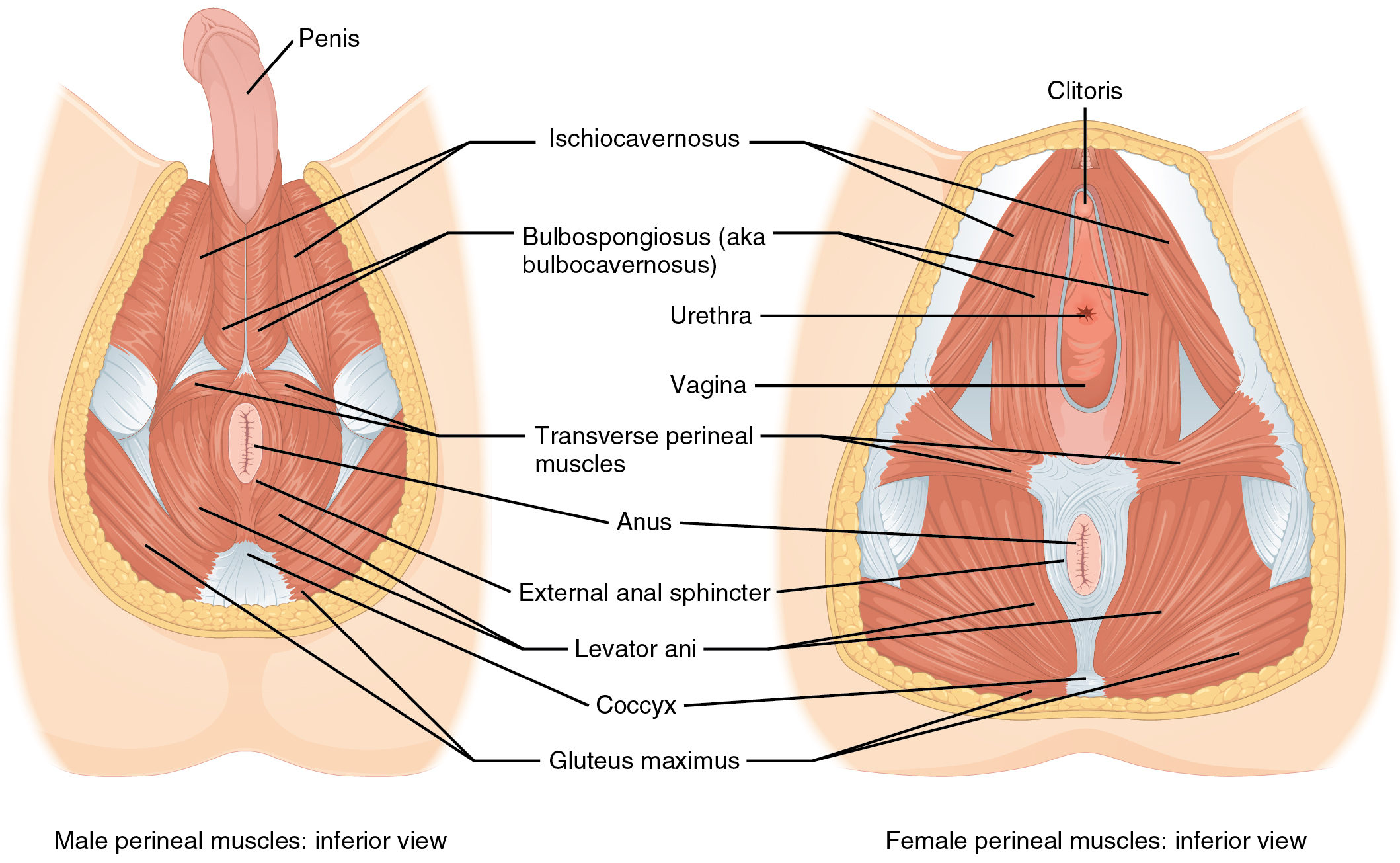 Muscles-of-the-Pelvic-Floor