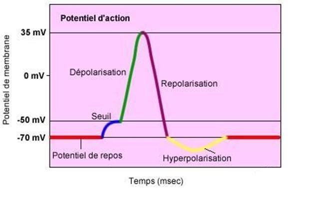 période-refractaire